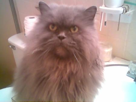 Opus, a Persian cat.