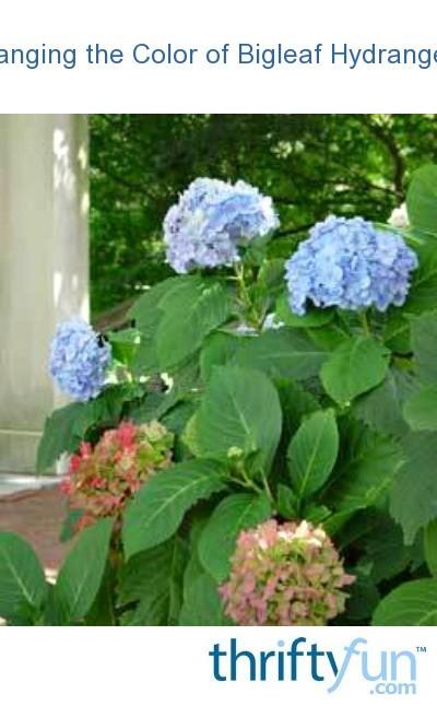 Changing The Color Of Bigleaf Hydrangeas Thriftyfun