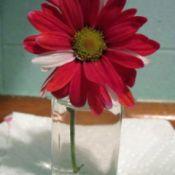 Gerbera daisy in vase.