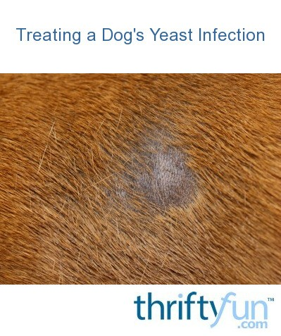 Treating a Dog's Yeast Infection | ThriftyFun