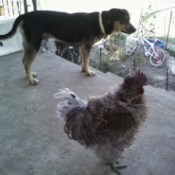 Dog and rooster on patio.