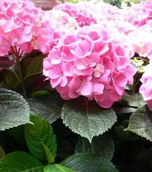 Growing: Hydrangea