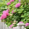 Growing Hydrangeas