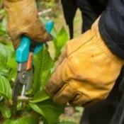 Pruning Hydrangeas