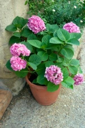 Hydrangeas in a Clay Pot