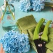 Hydrangeas Cuttings