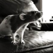 Gray and white rat.