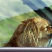 A dog riding in a car.