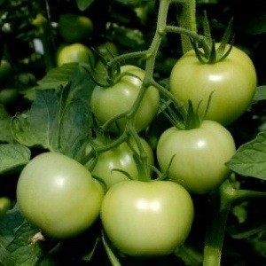 Green tomatoes growing on the vine.