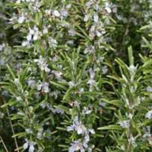 A rosemary plant in flower