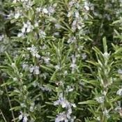 Growing Rosemary