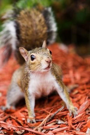 A squirrel on dyed wood mulch