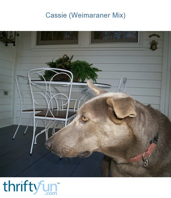 Cassie (Weimaraner Mix) | ThriftyFun