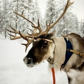 A reindeer in the snow
