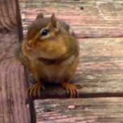 Chipmunk letting me take his picture.