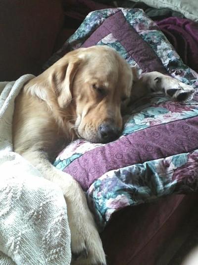 Winston (Golden Retriever)