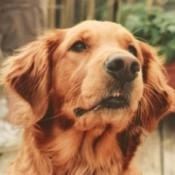 In Memory of Zoe (Golden Retriever)