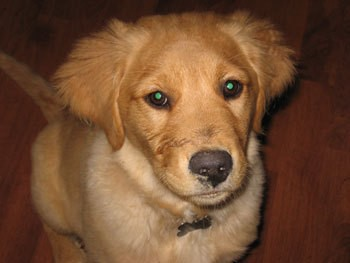 Bailey Belle (Golden Retriever)