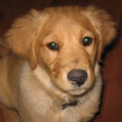 Bailey Belle (Golden Retriever)