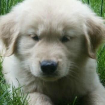 Chase (Golden Retriever)