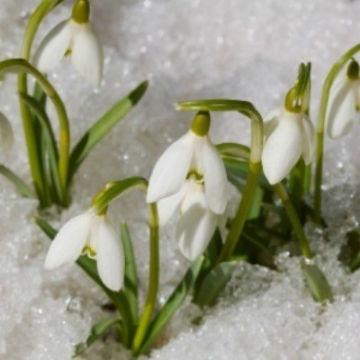 Snowdrops peeking up through the snow.