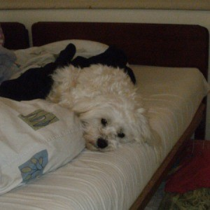 Maltese on bed.