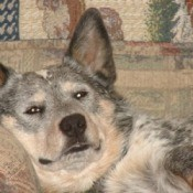 Harley (Australian Cattle Dog)
