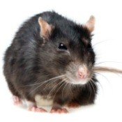 Getting Rid of Rats
