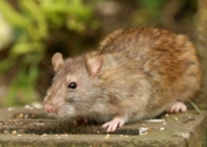 A brown rat outside.