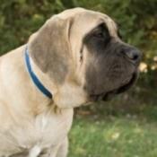 A large dog sitting.