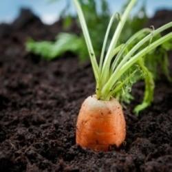 A photo fo a carrot growing in a vegetable garden.