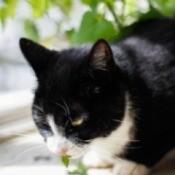 A cat eating catnip.