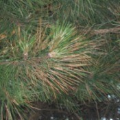Pine Tree With Brown Needles