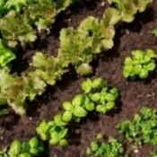 Growing a Salad Garden