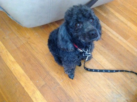 Black Poodle on leash.