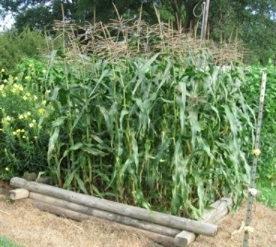 Growing Corn in a Raised Beds