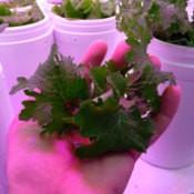 hand holding lettuce