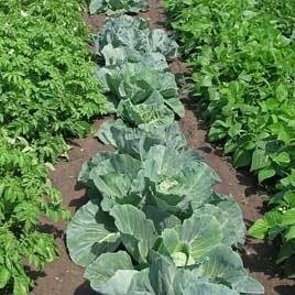 Rows of growing vegetables