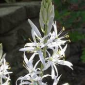 Growing Camassia (Wild Hyacinth)