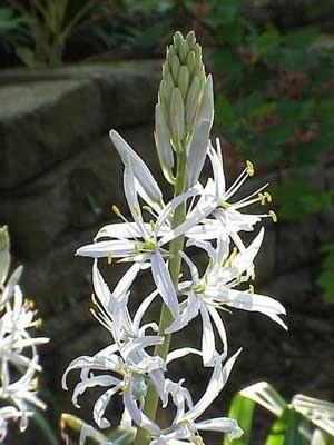 Camassia (Wild Hyacinth)