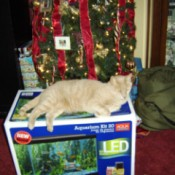 Tan tabby cat lying on box in front of Christmas tree.