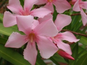 Beautiful pink oleander flowers.