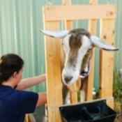 Straining Goats Milk