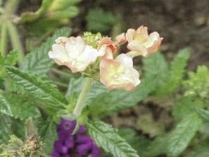 verbena flowers