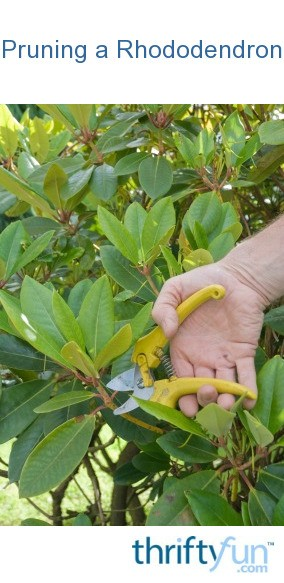 Pruning A Rhododendron Thriftyfun