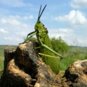 Grasshopper on Rock