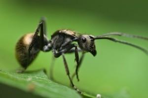 Black Ant on Leaf