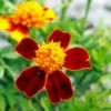Red and Yellow Marigolds