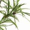Spider Plant on White Background
