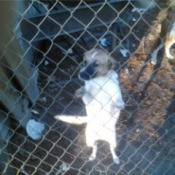 Small dog standing up against a chain link fence.